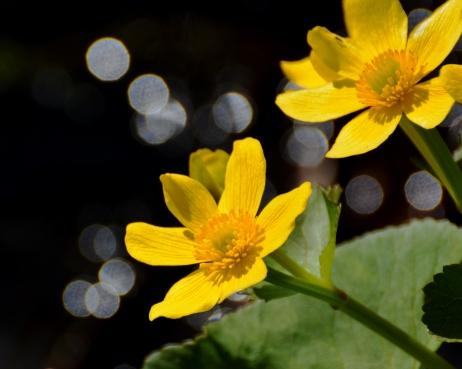 MarshMarigold11May14#067Ec8x10