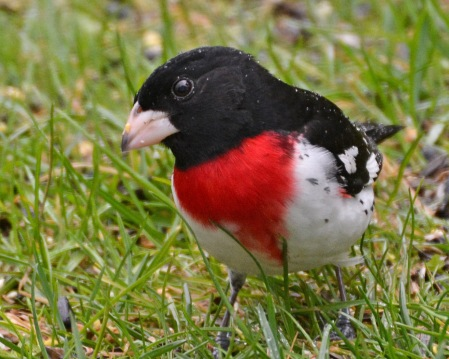 RBGrosbeak4May14#022E2c8x10