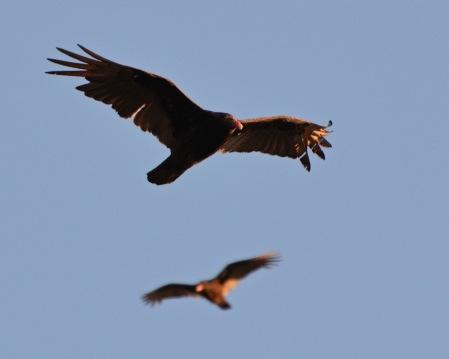 Vulture24Apr14#103E2c8x10