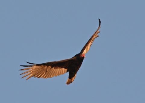 Vulture24Apr14#111E2c5x7