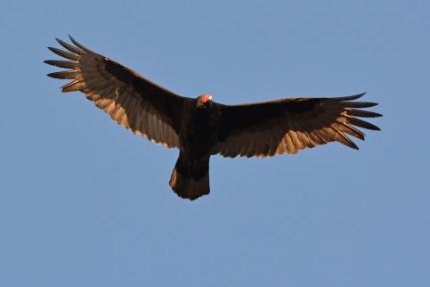 Vulture24Apr14#123E
