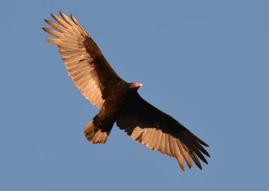 Vulture24Apr14#129Ec5x7