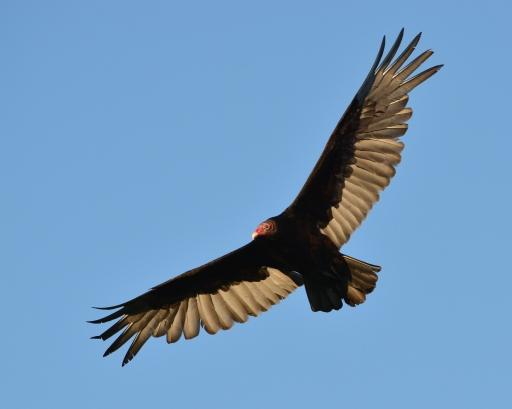 Vulture6May14#253Ec8x10