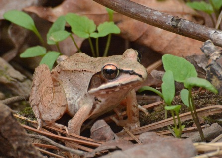 WoodFrog13May14#014E2c5x7