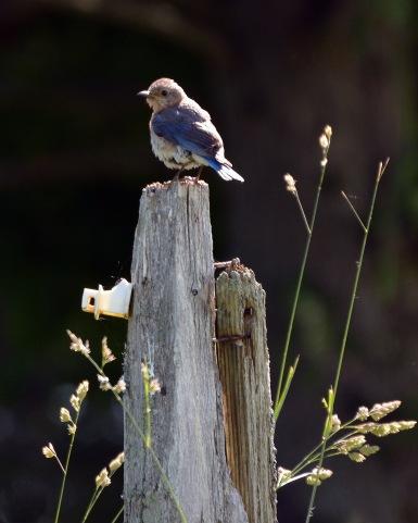 Bluebird21June14#025E5c8x10