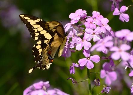 GiantSwallowtail8June14#032Ec5x7