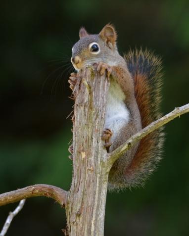 RedSquirrel19June14#018Ec8x10