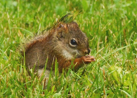 RedSquirrel25June14#053E2c5x7
