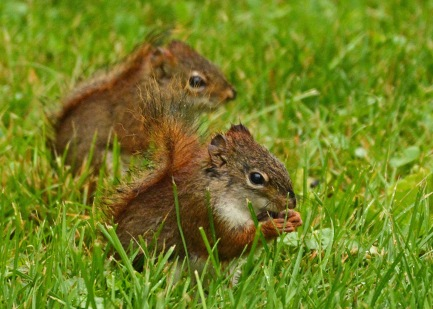 RedSquirrels25June14#054E3c5x7