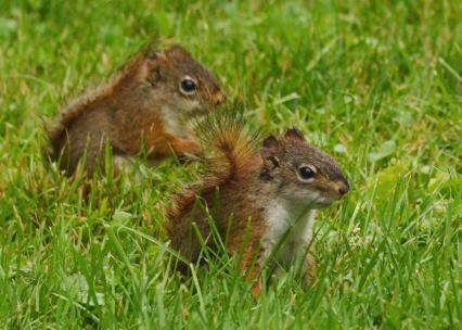 RedSquirrels25June14#055E2c5x7