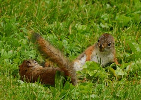 RedSquirrelsRain25June14#047E2c5x7