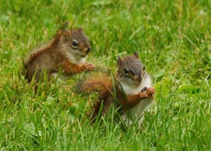 RedSquirrelsRain25June14#059Ec5x7