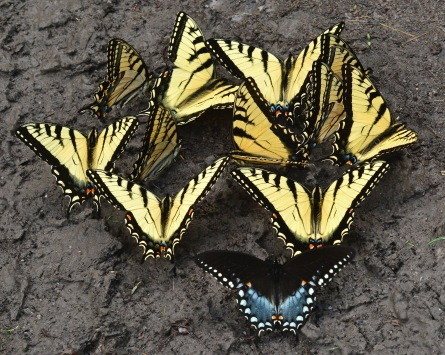 Swallowtails5June14#222E2c8x10