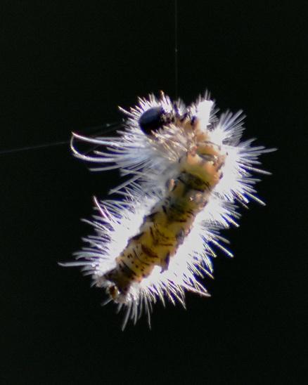CaterpillarThread30July14#056E3c8x10
