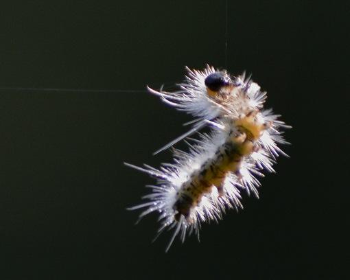 CaterpillarThread30July14#061E3c8x10