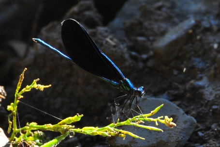 EbonyJewelwing1Aug12#070E