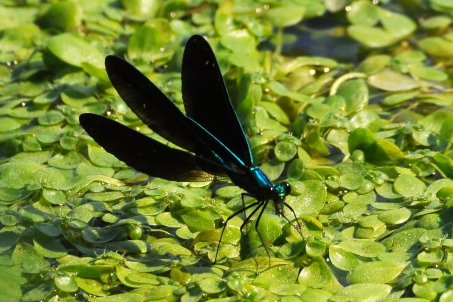 EbonyJewelwing3Aug12#069E