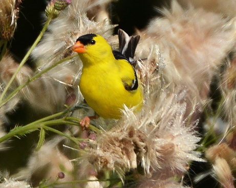 Goldfinch18July14#077E3c8x10