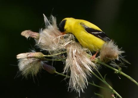 Goldfinch18July14#098Ec5x7
