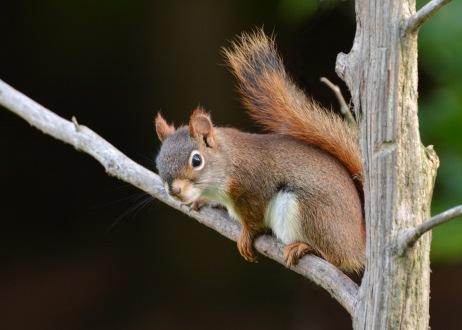 RedSquirrel9July14#090E2c5x7
