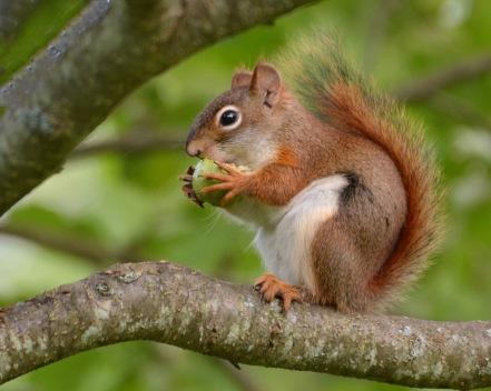 RedSquirrel9July14#104E3c8x10