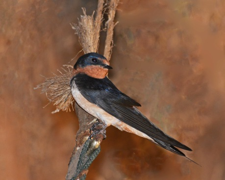 BarnSwallow2July14#047E5c8x10