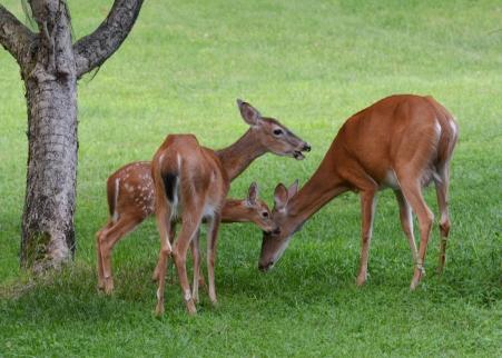 Deer7Aug14#080Ec5x7