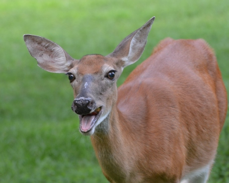 DeerApple7Aug14#091Ec5x7