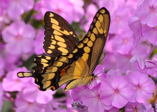 GiantSwallowtailPhlox12Aug13#153E2c5x7