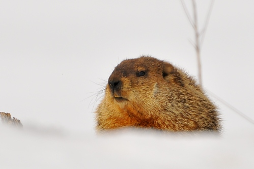 Image result for woodchuck in snow
