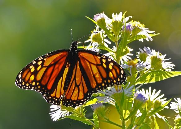 Monarch13Sept12#063E2c5x7
