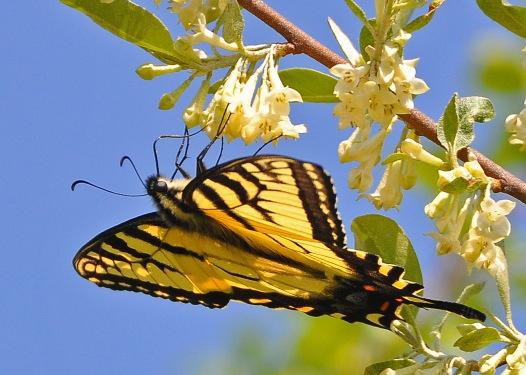 TigerSwallowtail13May12#105E3c5x7