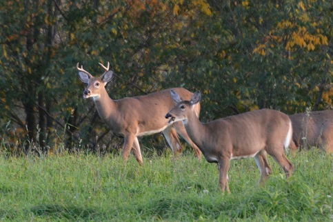 BuckDoe24Sept14#052E2c4x6