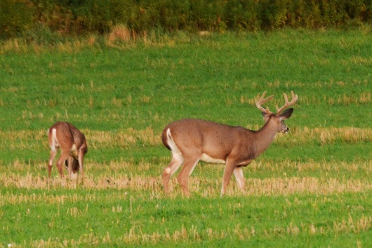 BuckDoe24Sept14#076E3c4x6