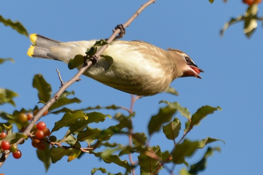 CedWaxwing19Sept14#080E2c4x6