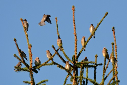 CedWaxwings19Sept14#020E2c4x6