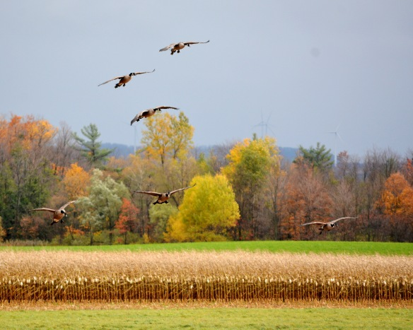 FarmGeese18Oct14#104E2c8x10