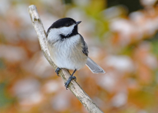 Chickadee21Nov14#010E2c5x7