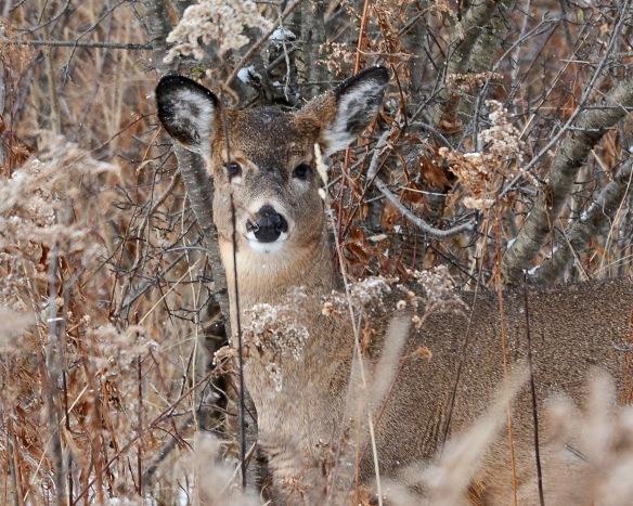 Deer20Nov14#013E2c8x10