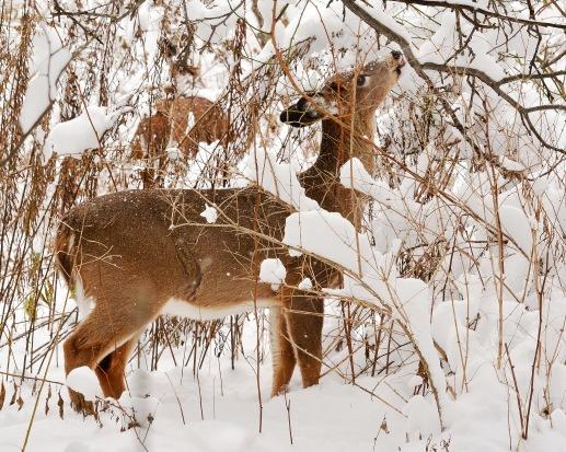 Deer28Nov14#053E2c8x10