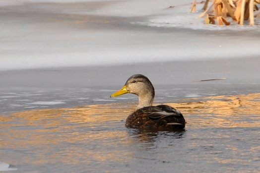 BlackDuck20Jan13#031E