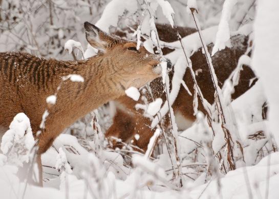 Deer10Dec14#008E2c4x6