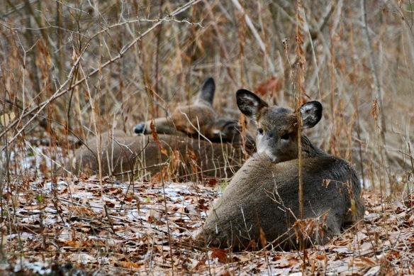 Deer8Dec14#010E3c4x6