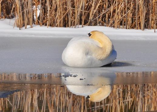 Swan9Mar13#082E3c5x7