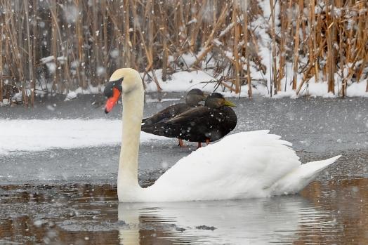 SwanBlackDucks15Mar13#084E