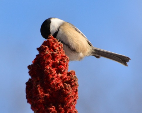 Chickadee23Jan15#007E2c8x10