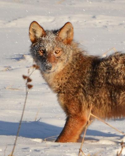 Coyote17Jan15#001E5c8x10