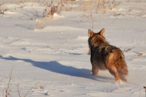 Coyote17Jan15#005E4c4x6