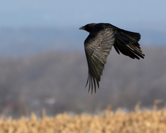 Crow10Jan15#017E3c8x10