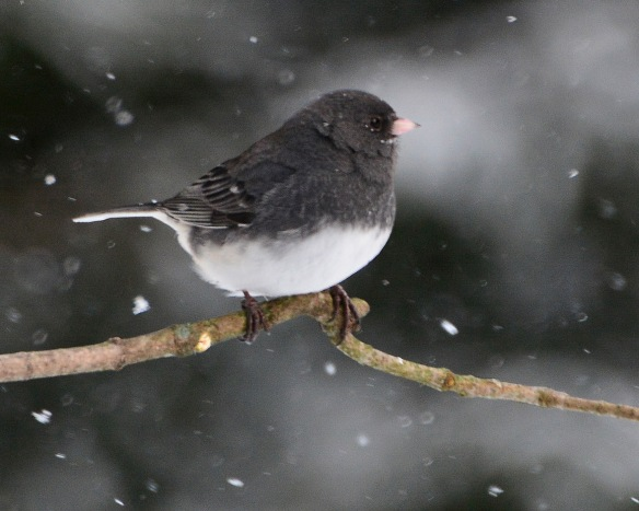 Junco30Jan15#066E2c8x10